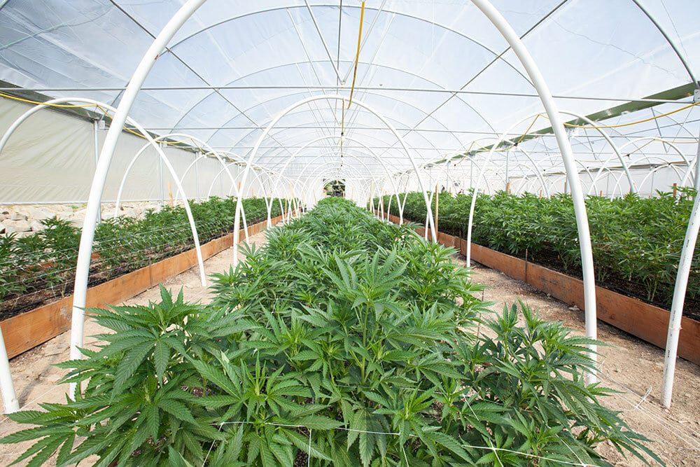 Cannabis farm, cannabis plants, grow house
