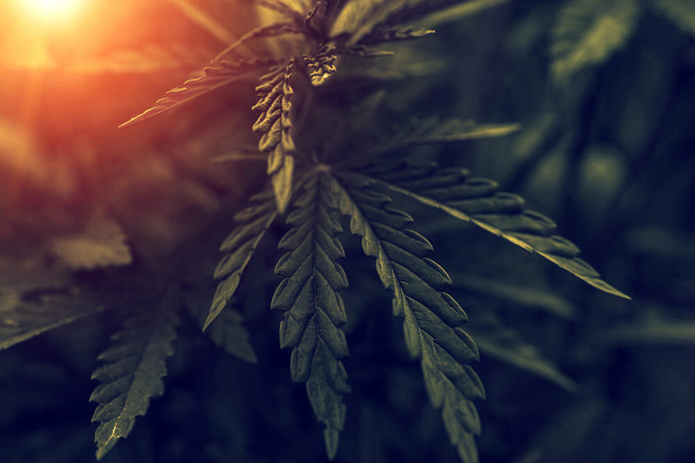 Close up shot of cannabis leaves in field at sundown with sun glowing in the background