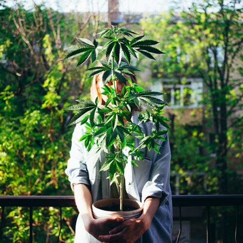 Woman holding pot with young weed plant